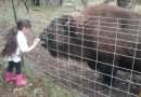 Coco the buffalo dies