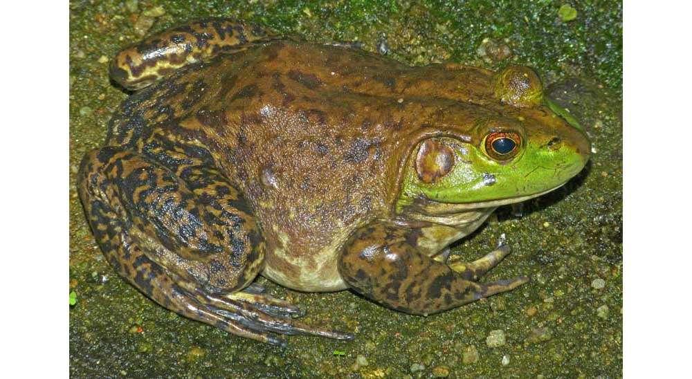American Bullfrogs Threaten Native Wildlife Plumas News