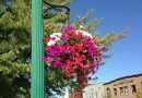 Downtown Quincy's hanging baskets require more than sun and water