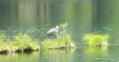 Lake Almanor wildlife abounds