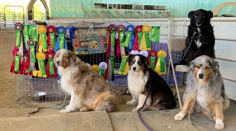 Foxxmo qualifies for AKC national agility championships in Georgia