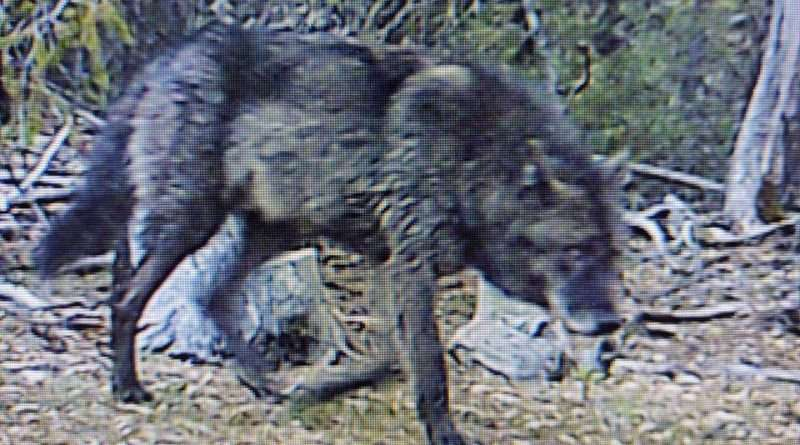Wolf family expands; locals share sightings